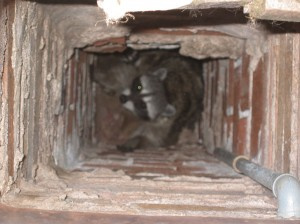 chimney damaged by animals